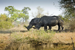 野生白犀牛,克鲁格国家公园,南非 免版税图库摄影