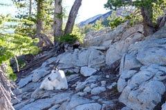 野生白色石山羊 免版税库存照片