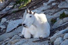 野生白色石山羊 免版税库存图片