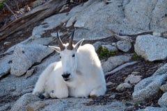 野生白色石山羊 库存照片