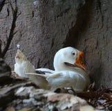 野生白色鸭子 免版税库存图片