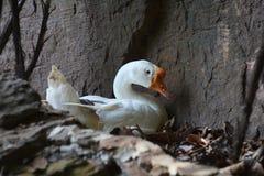 野生白色鸭子 免版税图库摄影