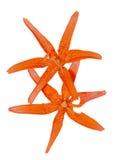 野生百合(百合属植物bushianum) 5 免版税库存图片