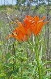 野生百合(百合属植物pensylvanicum) 8 免版税库存照片