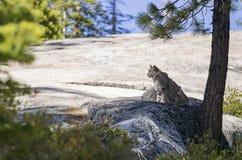 野生的猫坐岩石 库存照片
