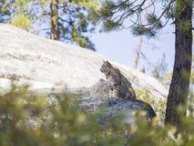 野生的猫坐岩石 免版税库存图片