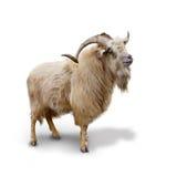 野生石山羊被隔绝在白色背景 库存照片