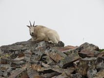 野生石山羊 免版税库存照片