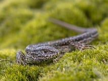 野生砂蜥蜴 图库摄影