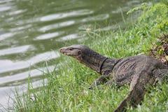 野生科莫多巨蜥蜥蜴在泰国 免版税库存照片