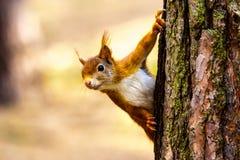 野生红松鼠Formby英国 免版税库存图片