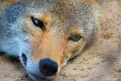 野生红色土狼 库存图片