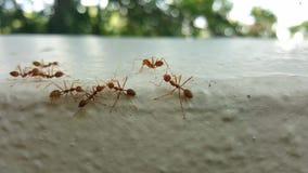 野生红色蚂蚁 库存照片