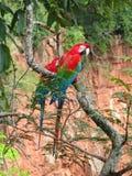 野生红色金刚鹦鹉美好的夫妇,看在Buraco das阿拉拉斯( 免版税库存照片