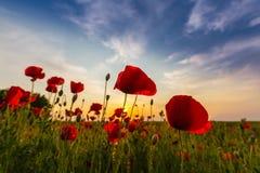 野生红色鸦片的领域在日落光下的 免版税库存照片