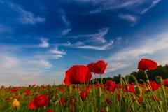 野生红色鸦片的领域在日落光下的 免版税图库摄影