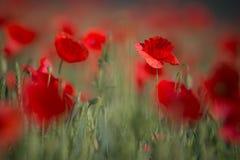 野生红色鸦片,与浅景深的射击的领域,在麦田在阳光下 在麦子中的红色鸦片特写镜头 Picturesqu 库存照片