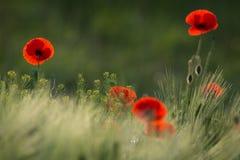 野生红色鸦片,与浅景深的射击,在一个绿色草甸在阳光下 几在麦子中的红色鸦片特写镜头 照片 库存照片
