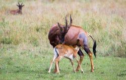 野生红色Hartebeest羚羊 库存照片