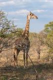 野生网状的长颈鹿和非洲风景在全国克鲁格在UAR停放 免版税库存图片