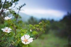 野生罗斯在山的草甸开花 免版税库存图片