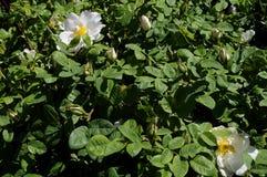 野生罗斯花和植物 库存照片