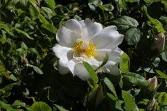 野生罗斯花和植物 图库摄影