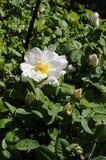 野生罗斯花和植物 库存图片