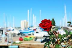 野生罗斯,港口,圣地亚哥,加利福尼亚 库存图片