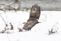 野生美国白头鹰在飞行中在雪在华盛顿S 免版税库存图片