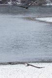 野生美国白头鹰在飞行中在洗涤的Skagit河 免版税库存照片