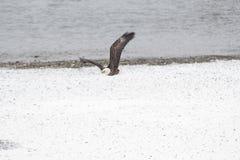 野生美国白头鹰在飞行中在洗涤的Skagit河 库存照片
