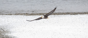 野生美国白头鹰在飞行中在洗涤的Skagit河 库存图片