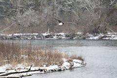 野生美国白头鹰在飞行中在洗涤的Skagit河 免版税库存图片