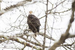 野生美国白头鹰坐一个分支在森林里 库存照片