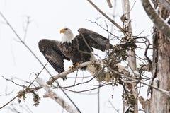 野生美国白头鹰坐一个分支在森林里 免版税库存图片
