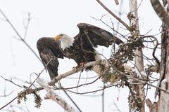 野生美国白头鹰坐一个分支在森林里 库存图片