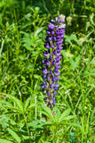 野生羽扇豆在词根充分的开花,特写镜头,选择聚焦,浅DOF开花 免版税图库摄影