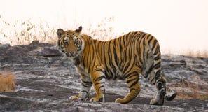 野生老虎在密林 印度 17 2010年bandhavgarh bandhavgarth地区大象印度madhya行军国家公园pradesh乘驾umaria 中央邦 库存图片