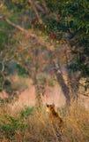 野生老虎在密林 印度 17 2010年bandhavgarh bandhavgarth地区大象印度madhya行军国家公园pradesh乘驾umaria 中央邦 免版税库存图片
