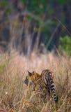 野生老虎在密林 印度 17 2010年bandhavgarh bandhavgarth地区大象印度madhya行军国家公园pradesh乘驾umaria 中央邦 免版税库存照片