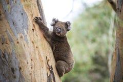 野生考拉特写镜头在坎加鲁岛,南澳大利亚玉树森林里  免版税库存图片