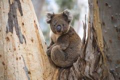 野生考拉特写镜头在坎加鲁岛,南澳大利亚玉树森林里  免版税图库摄影