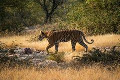 野生自由印地安老虎Ranthambore 免版税库存图片