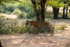 野生自由印地安老虎Ranthambore 免版税库存照片