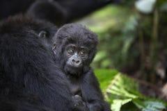 野生自由山地大猩猩画象  免版税库存图片