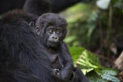 野生自由山地大猩猩画象  免版税图库摄影