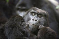 野生自由山地大猩猩画象  库存图片
