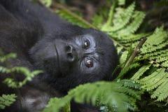 野生自由山地大猩猩画象  库存照片