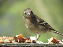野生英国鸟在森林里 库存照片
